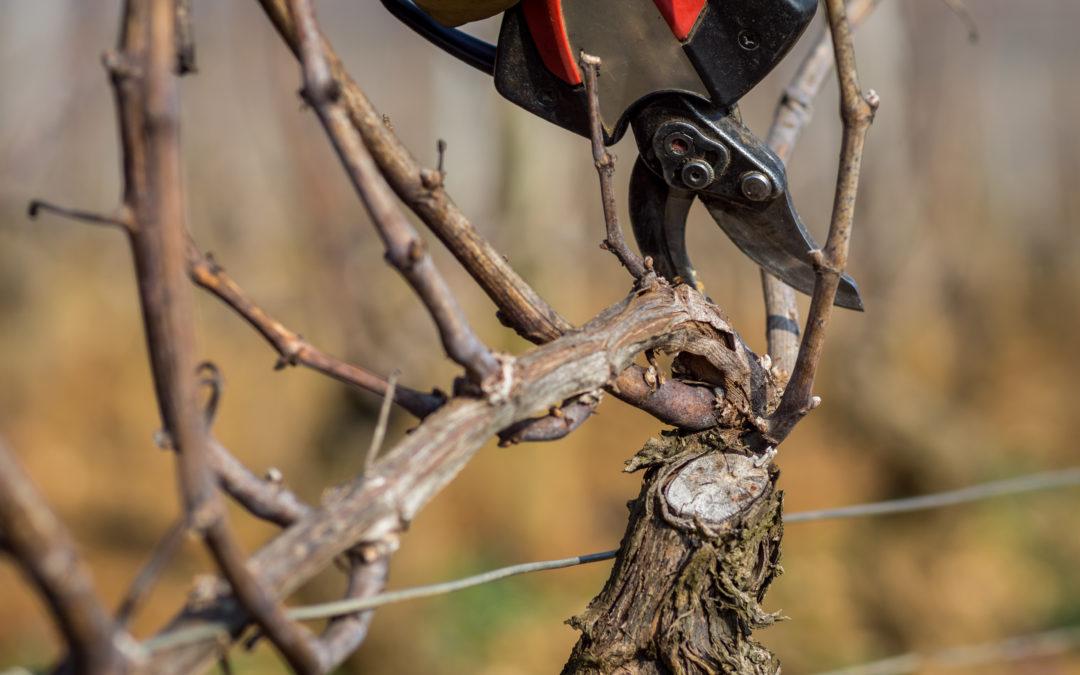 Taille de la vigne, une étape cruciale de la production